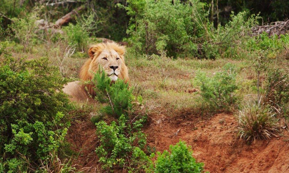 Lion Amakhala