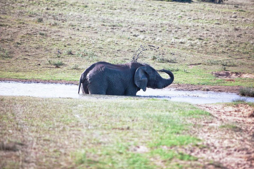 elephant taking a bath at amakhala