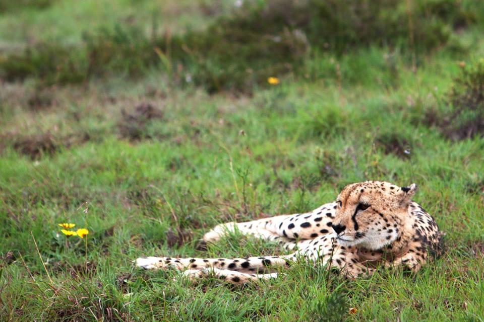 cheetah at amakhala