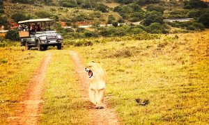 amakhala lion