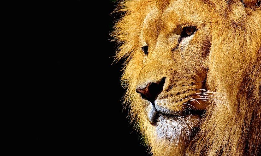 lion-2327225_1280