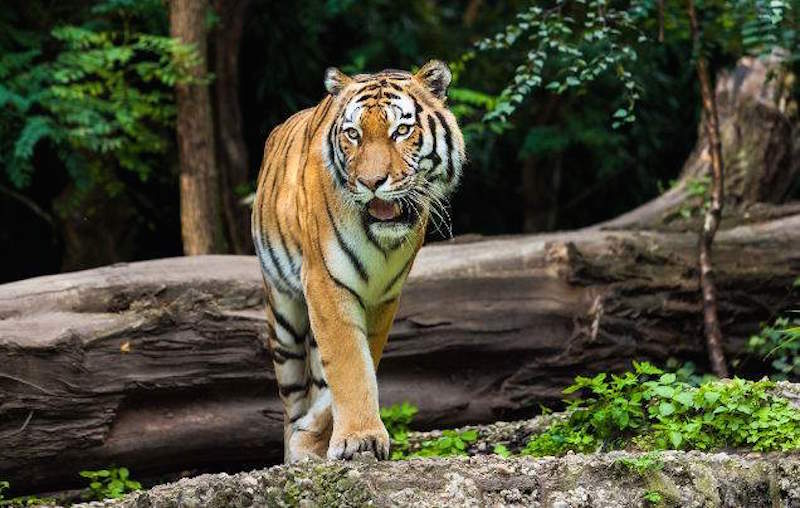 tigers in india with wendy wu tours